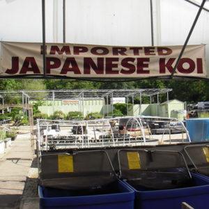 Japanese Koi