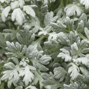 Artemisia Quicksilver 02