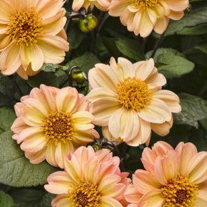 Dahlightful Georgia Peach Tag Image