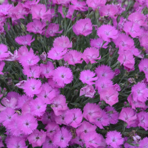 Dianthus Paint The Town Fuchsia 2