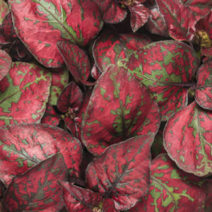 Hypoestes Hippo Red Tag
