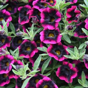 Annuals Flower