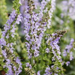 Salvia Color Spires Crystal Blue