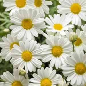 White Butterfly Argyranthemum