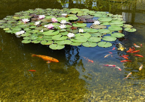 Garden Pond with Flowers and Fish
